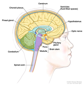 Cross-section of the brain, showing the pineal and pituitary glands, optic nerve, ventricles (with cerebrospinal fluid shown in blue), and other parts of the brain