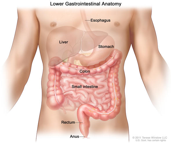 lower gastrointestinal anatomy illustration