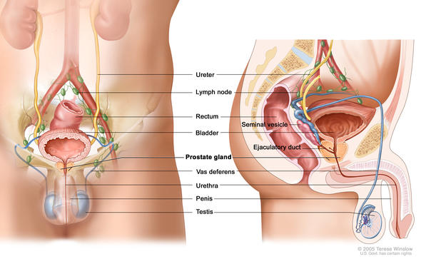 The prostate is small in size (about the size of a walnut) and surrounds the urethra. The prostate gland produces fluid that makes up a portion of semen.