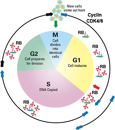 illustration of a cell cycle